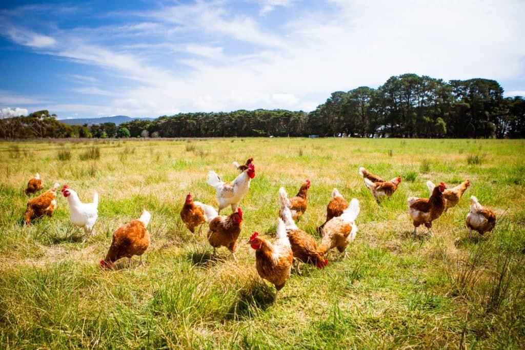 Что делать, когда домашних птиц настигает болезнь Марека (нейролимфоматоз)