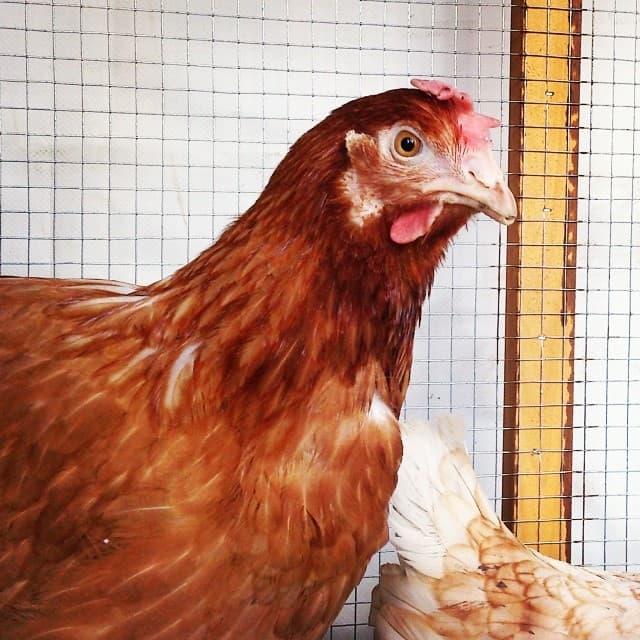 Родонит цыплята
