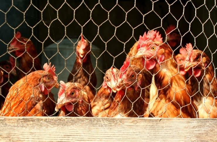 Причины, по которым не растут цыплята и насколько это опасно. Методы решения и устранения проблемы