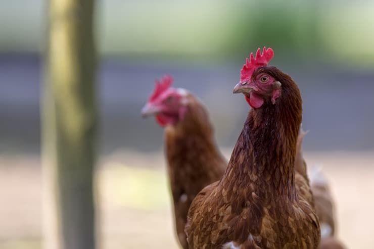 Можно ли держать кур в садовом некоммерческом товариществе (СНТ), частном доме, городе, на даче: что говорит закон?