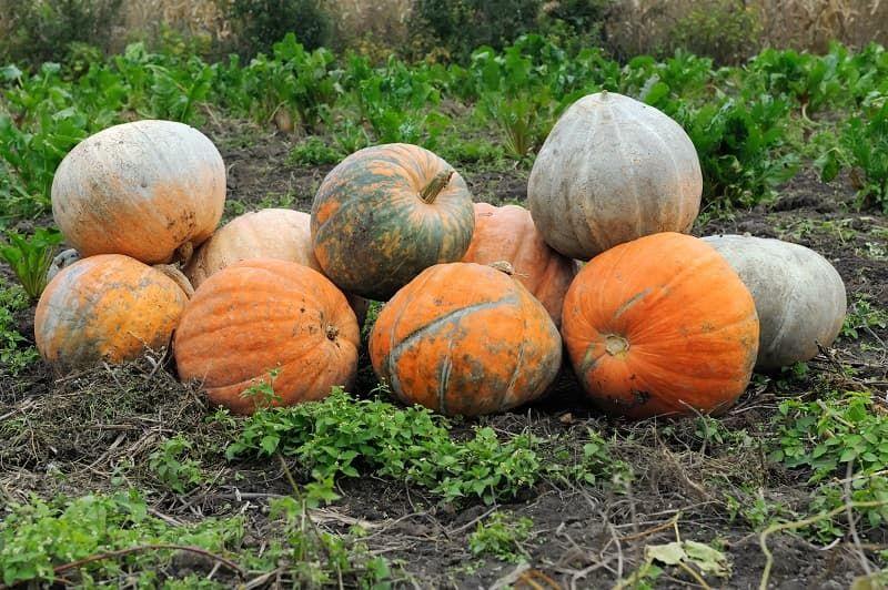 large-pumpkin-farm-px6b6rz.jpg