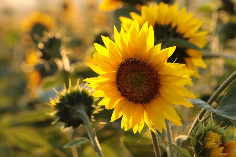 sunflower-svlmbqp.jpg