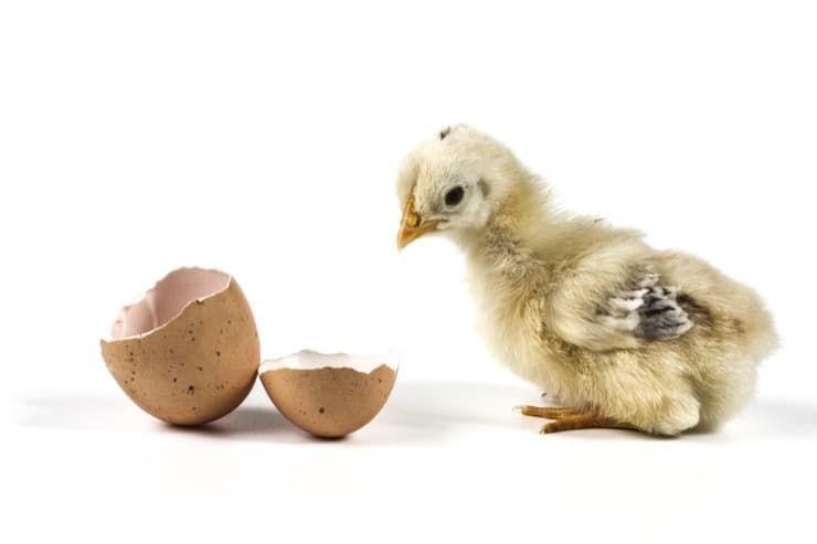 Как правильно выбрать яйца для закладывания в инкубатор? Пошаговая инструкция закладки яиц и способы ухода за ними в процессе инкубации