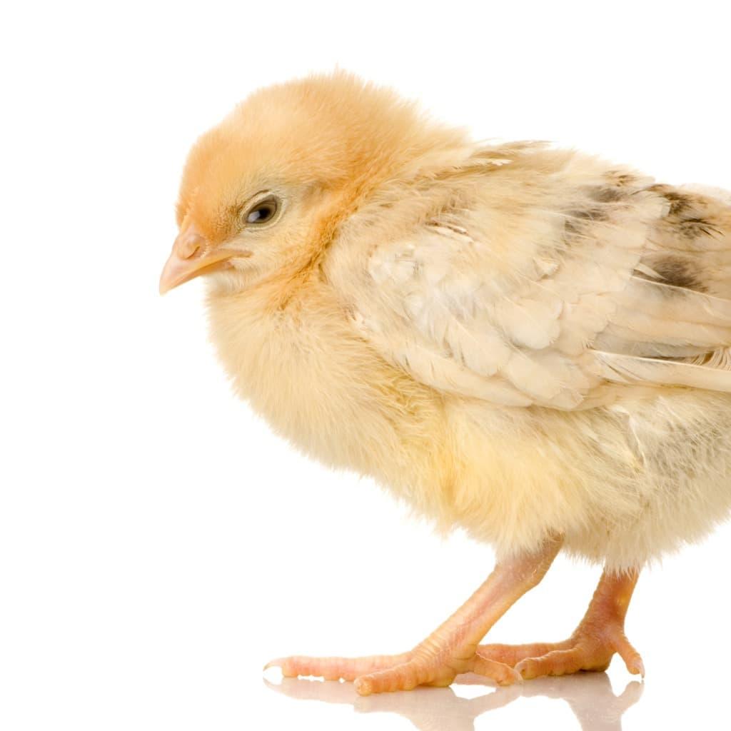 chick-pl7llhq.jpg