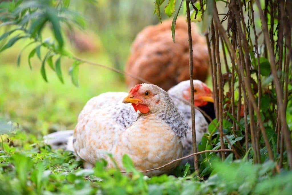 Хорошая наседка - находка для любого птицевода. Какие породы больше всех обладают инстинктом насиживания?