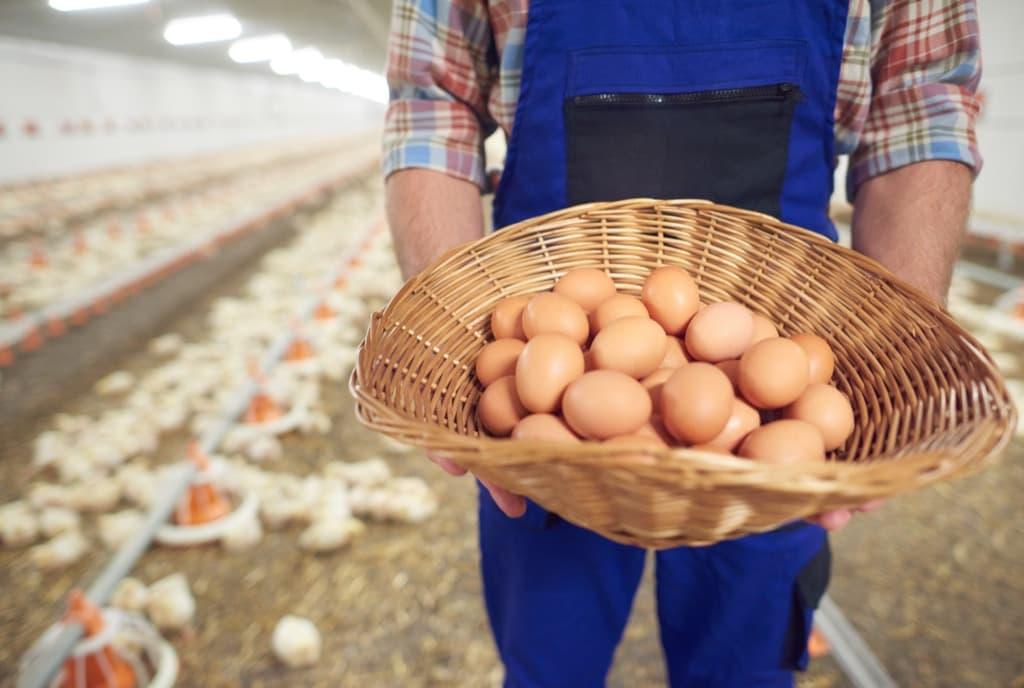 Как организовать куриную ферму с нуля