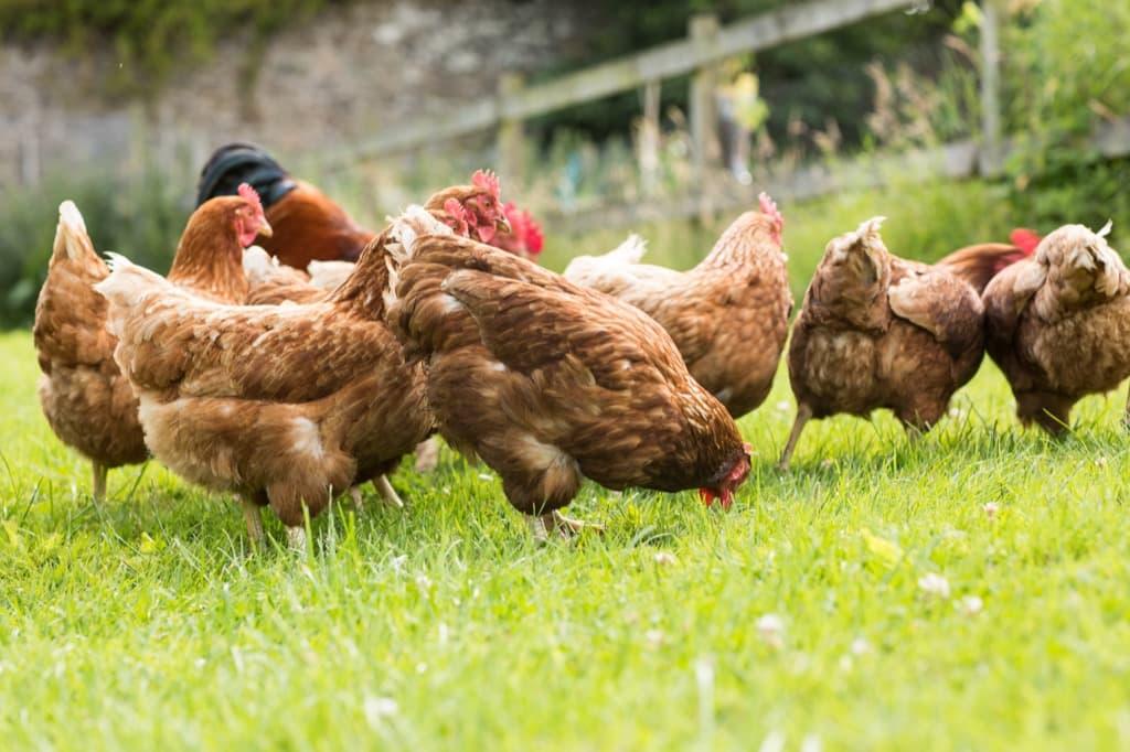 free-range-chickens-on-a-lawn-pecking-the-ground-plnn397.jpg