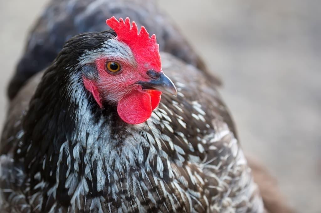 hen-on-the-farm-pmasdwa.jpg