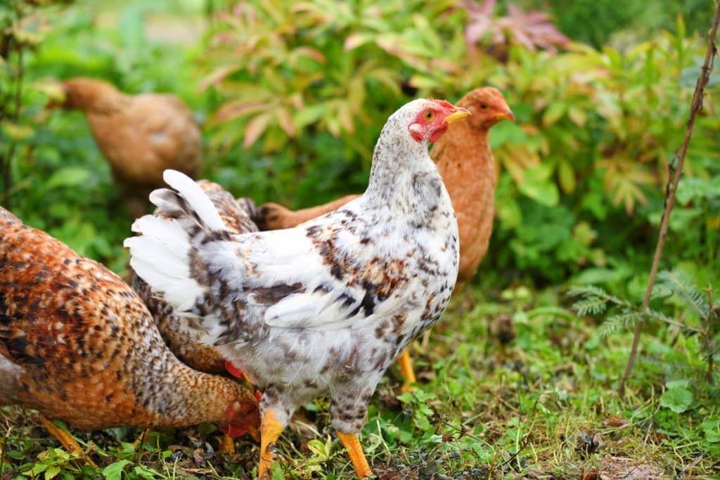 Почему не растут бройлерные цыплята