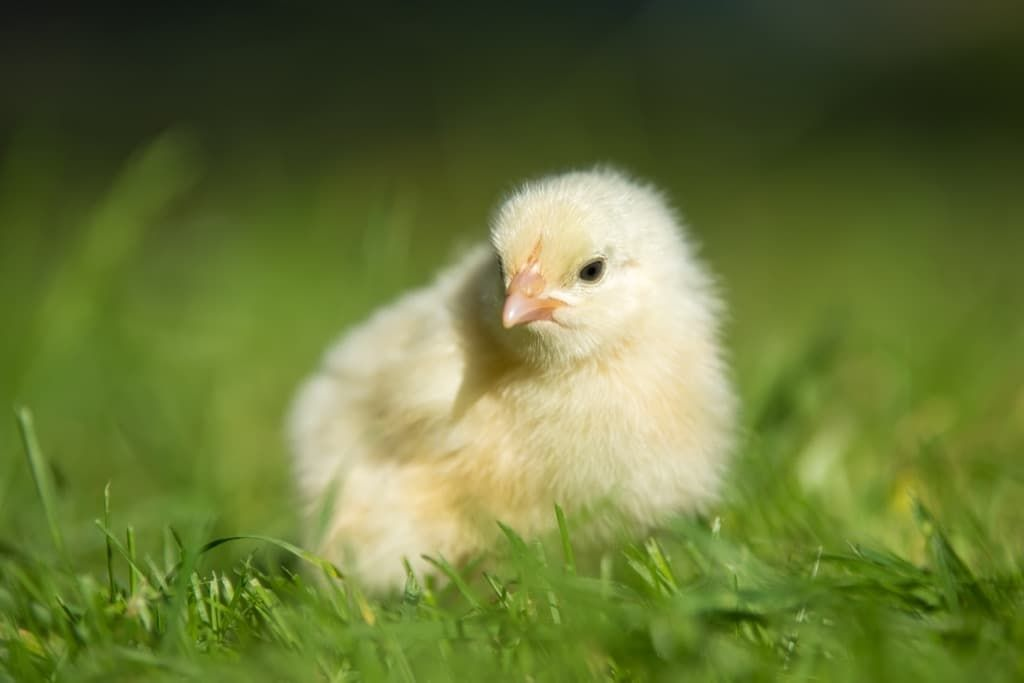 little-chicken-on-the-grass-pba7lpq.jpg