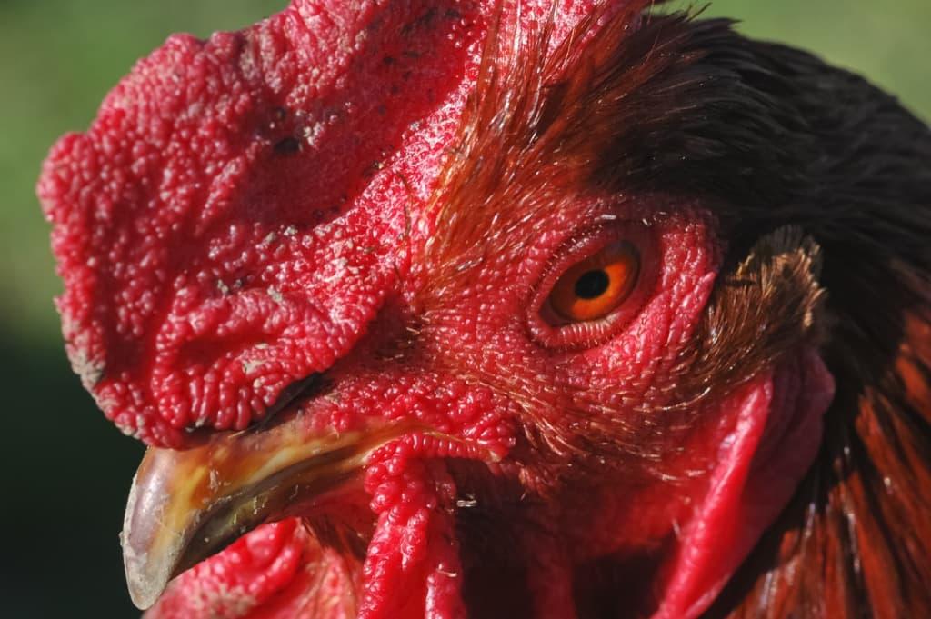 Как отличить петуха от курицы по внешним признакам