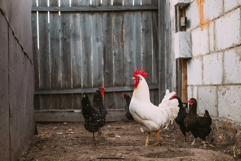 white-chicken-rooster-walking-in-rustic-farmyard-pbgd842.jpg