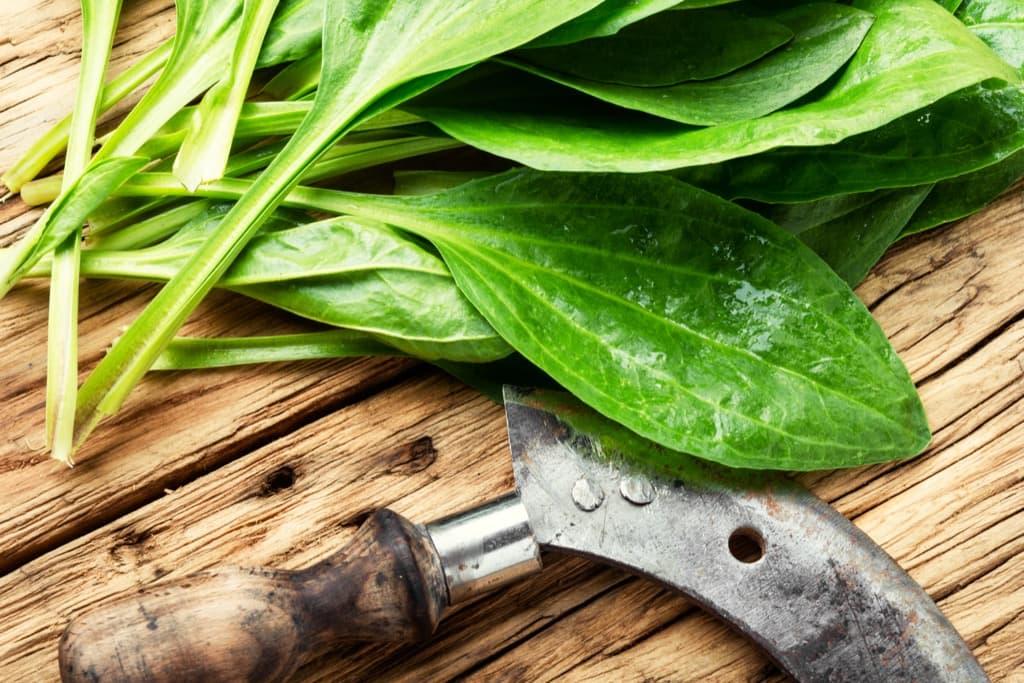 plantain-valuable-medicinal-plants-guz397n.jpg