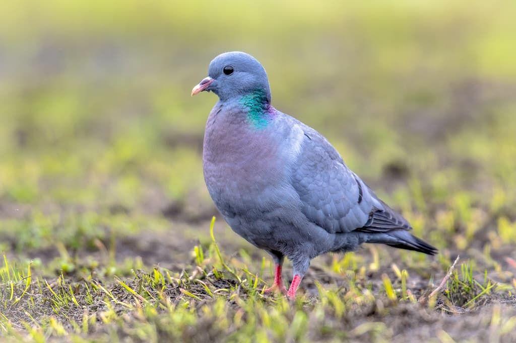 stock-dove-foraging-in-green-grass-58bxndf.jpg
