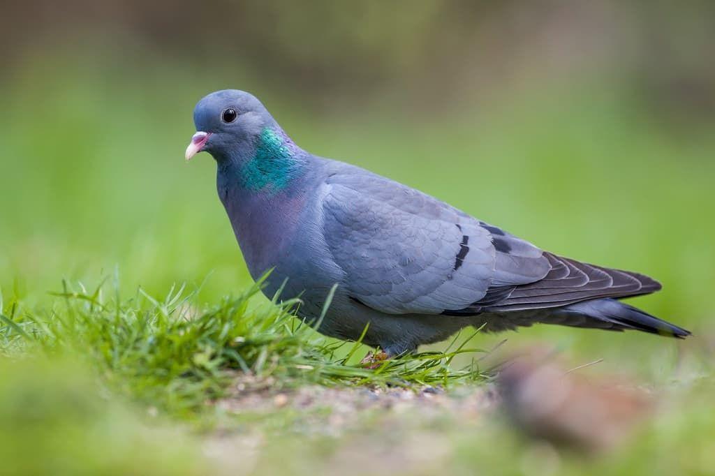 stock-dove-petrtx9.jpg