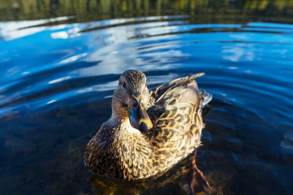 duck-pts7bgn.jpg