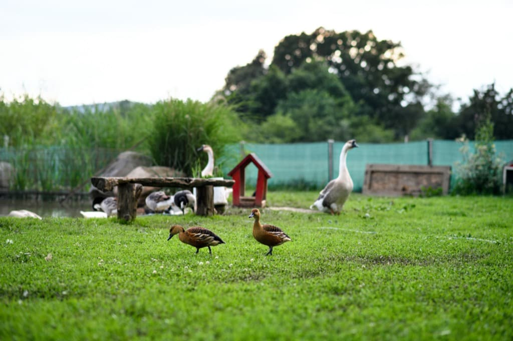 ducks-by-pond-on-farm-in-countryside-summer-day-4e9jcy7.jpg