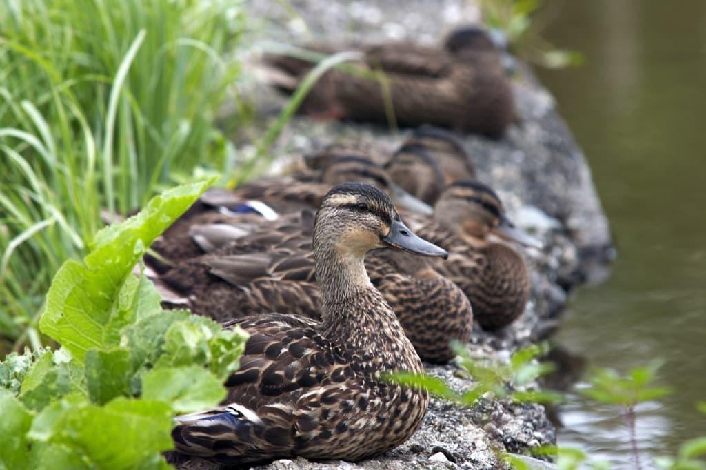 flock-of-ducks-on-the-shore-pj23v95.jpg