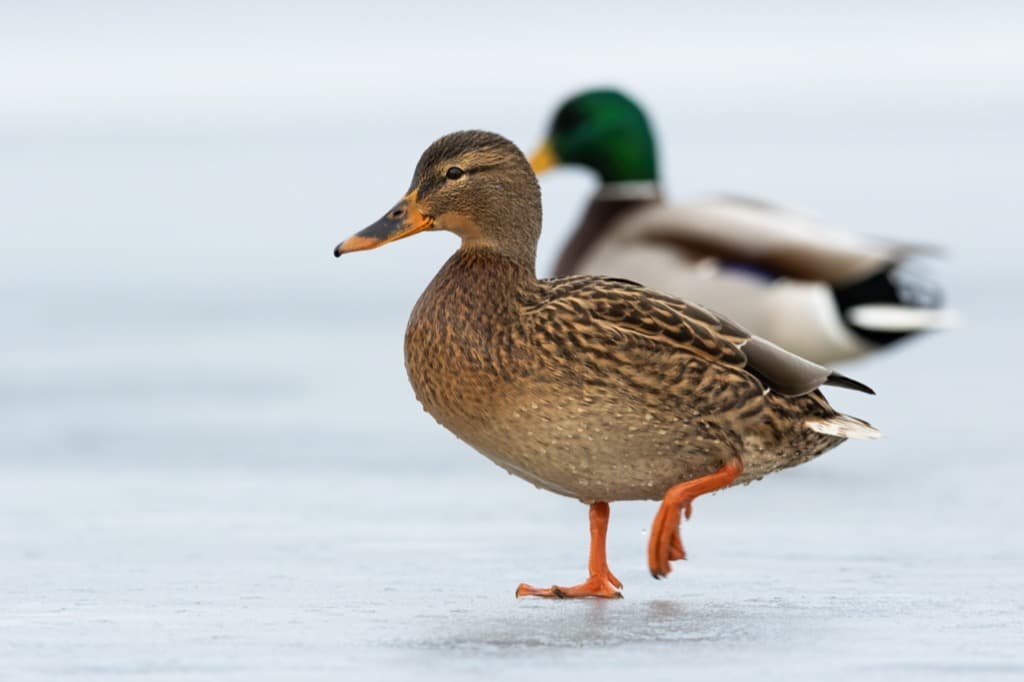 two-wild-ducks-approaching-together-on-ice-in-wint-x5mwqz7.jpg