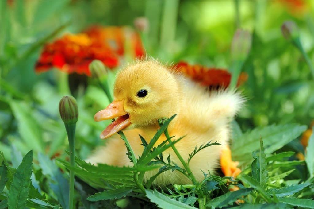 yellow-duckling-pa43n3q.jpg
